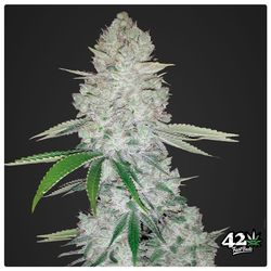 Gorilla glue is a auflowering hybride plant that gives glue and sticky buds