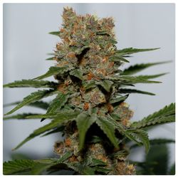 Colourful selene main bud, dense flowers with great taste