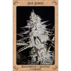 Sour Stomper bud covered in trichomes and harses, grape smell and hart hitting strain