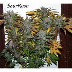 Sour kush is a easy to grow plant taste like diesel and red fruits
